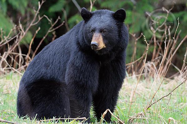 Large adult male black bear in Banff. John Marriott
