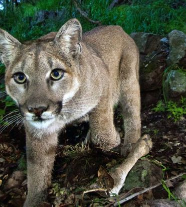 Cougar snapped by Parks Canada cams in Banff