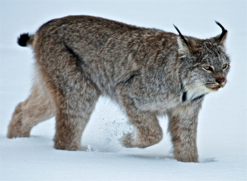 A lynx padding through snow in Banff. Picture from Parks Canada