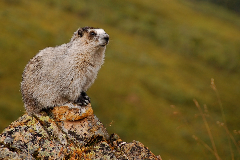 A hoary marmot taken by Eemeli Haverinen