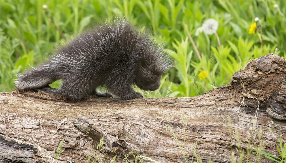 Porcupine. Photo from Alberta Animal Health Source