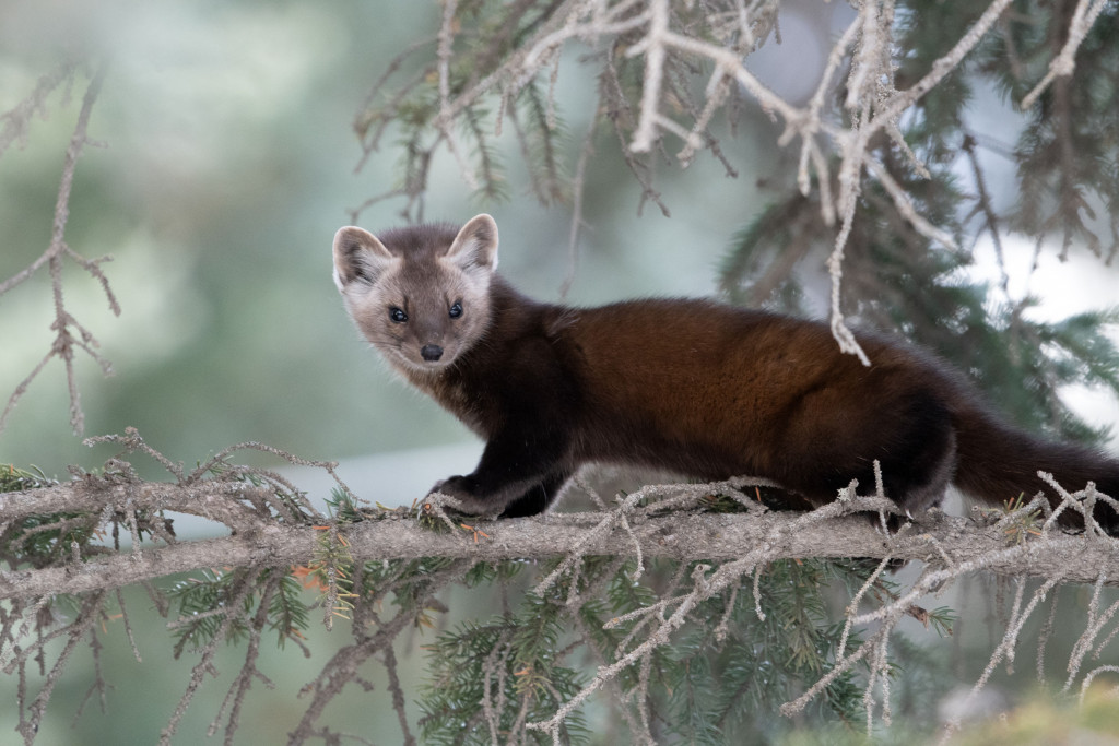 A curious Pine Martin