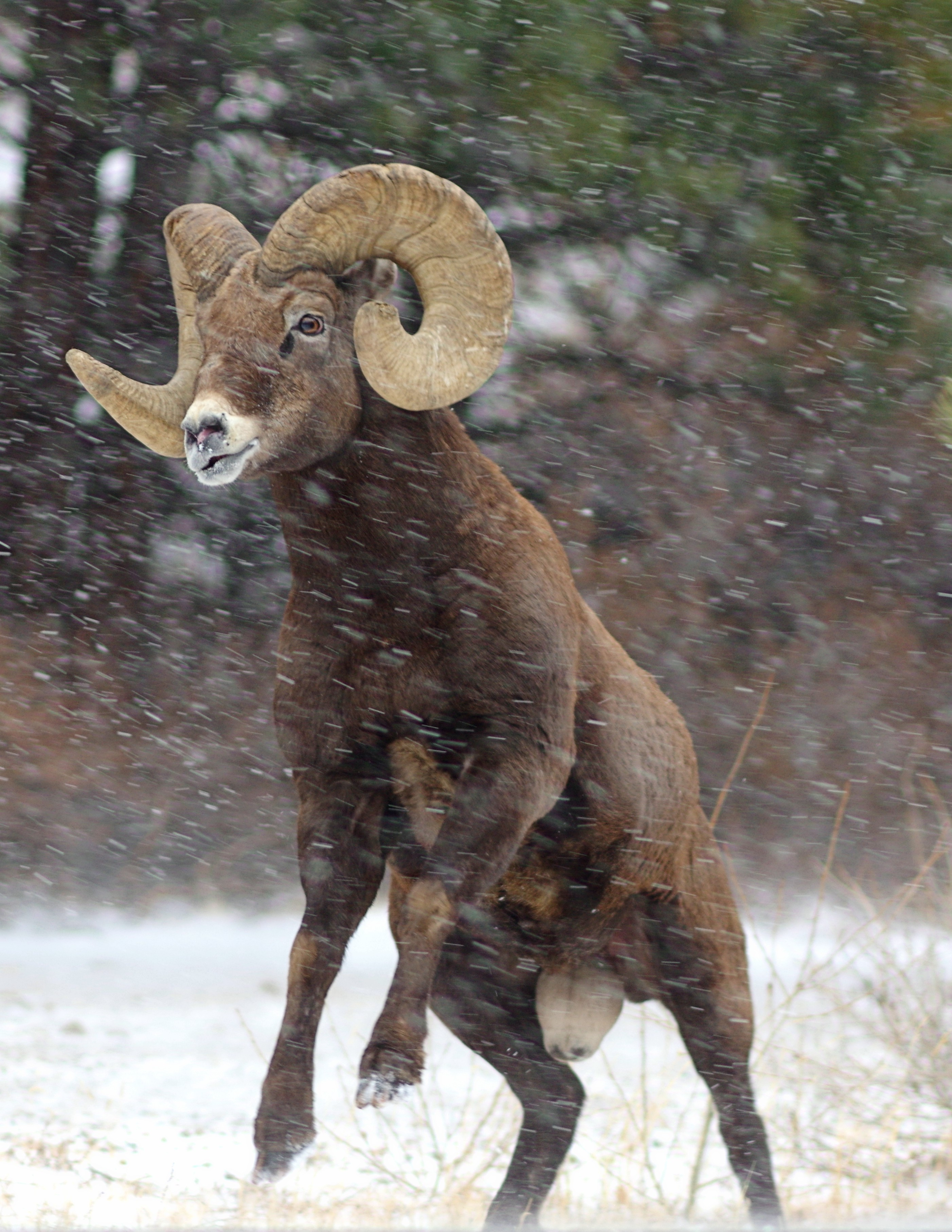 Big Horn Sheep taken by Stephen C. Torbit